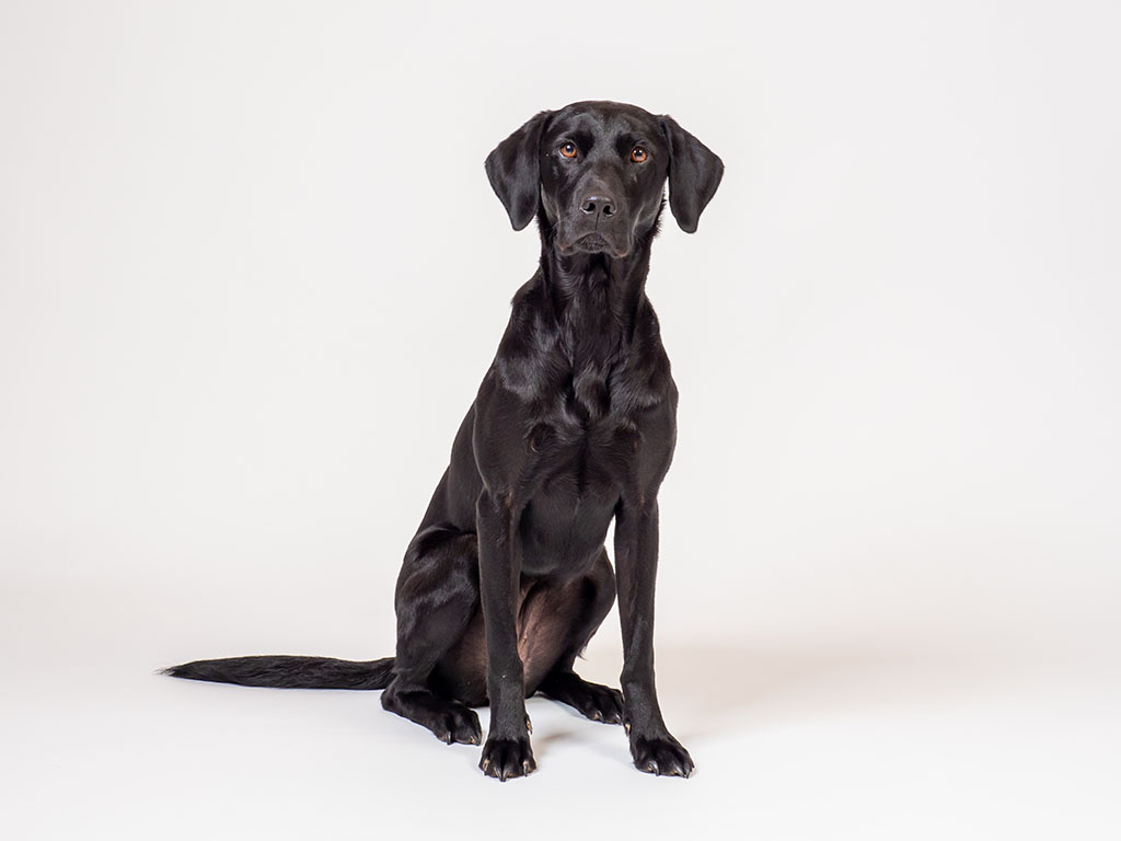 black labrador sitting against white background taken by pet photographer in Braintree