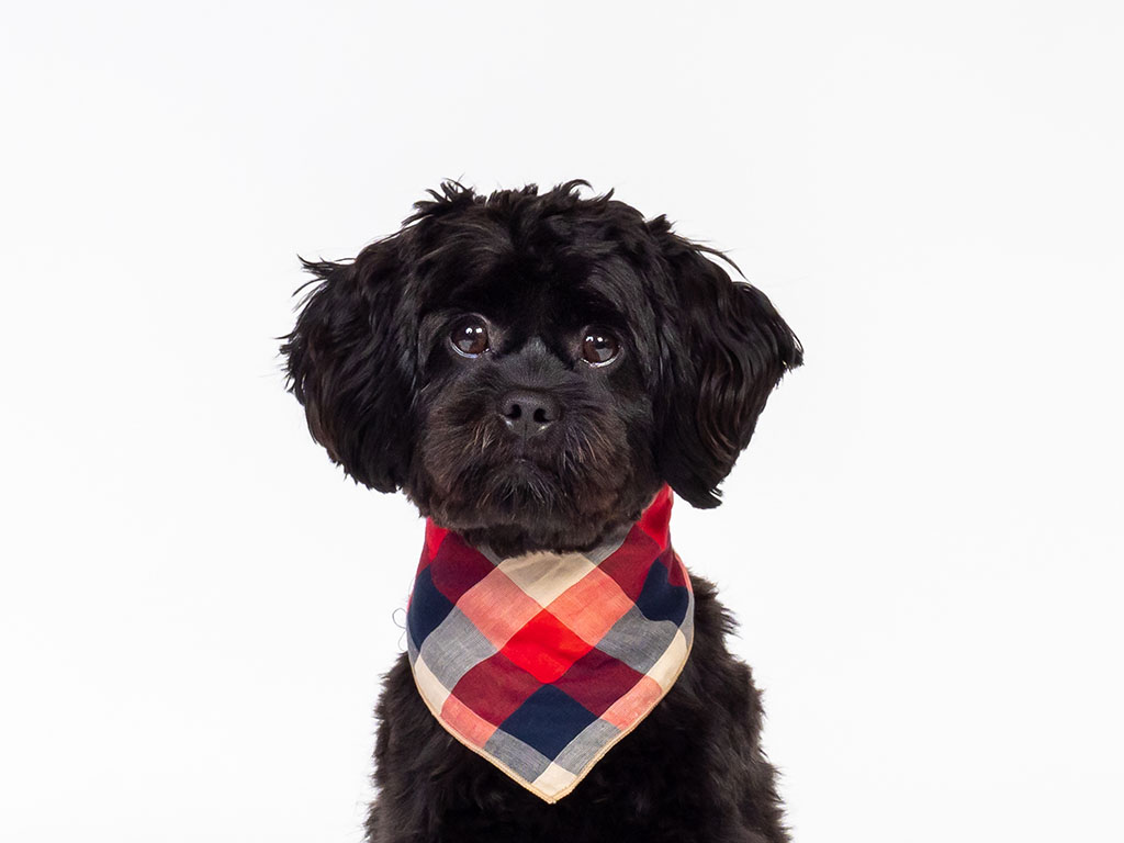 cute black dog wearing neck tie taken by pet photographer in Braintree