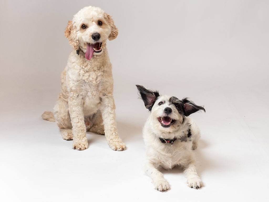 two dogs sitting with tounges hanging out on photography studio floor on white background